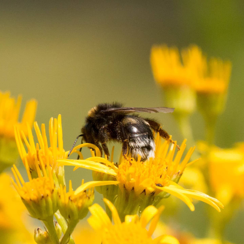 #instagram: Kuckucks-Hummel #nature #garden #insect