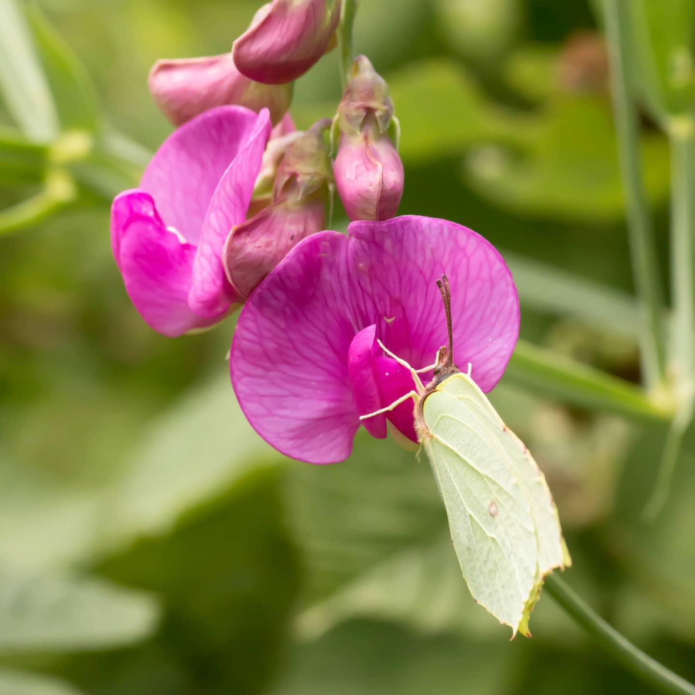 #instagram: Platterbse und Zitronenfalter #garden #nature #butterfly #insect