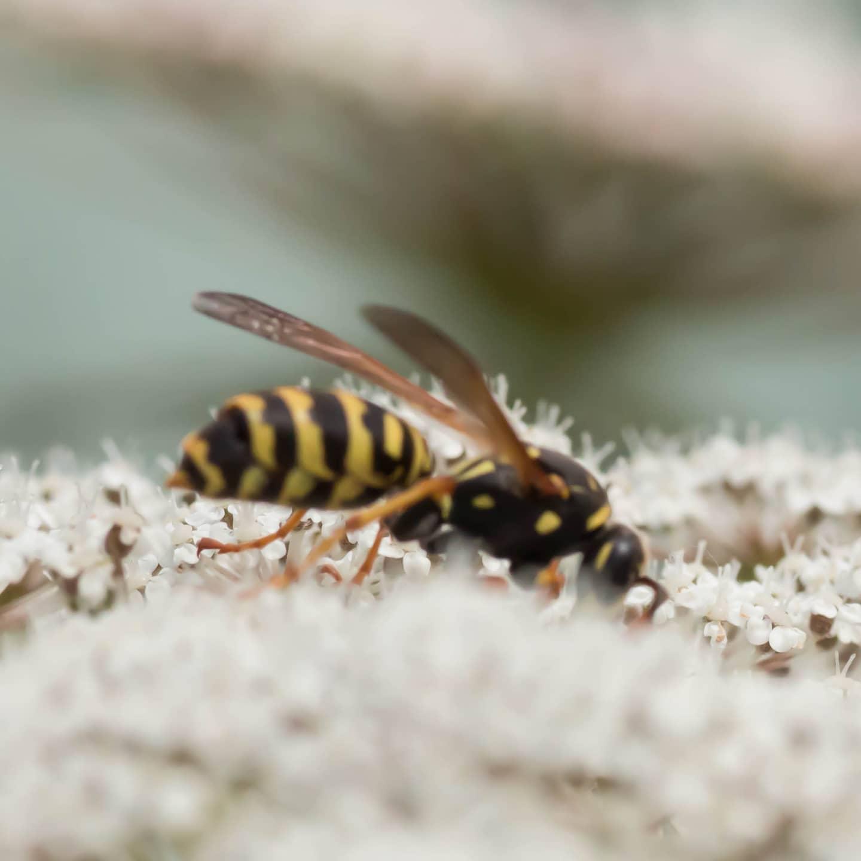 #instagram: Leider unscharf, die Wilde Möhre war größer als ich. Eine Feldwespe? #insect #nature #garden