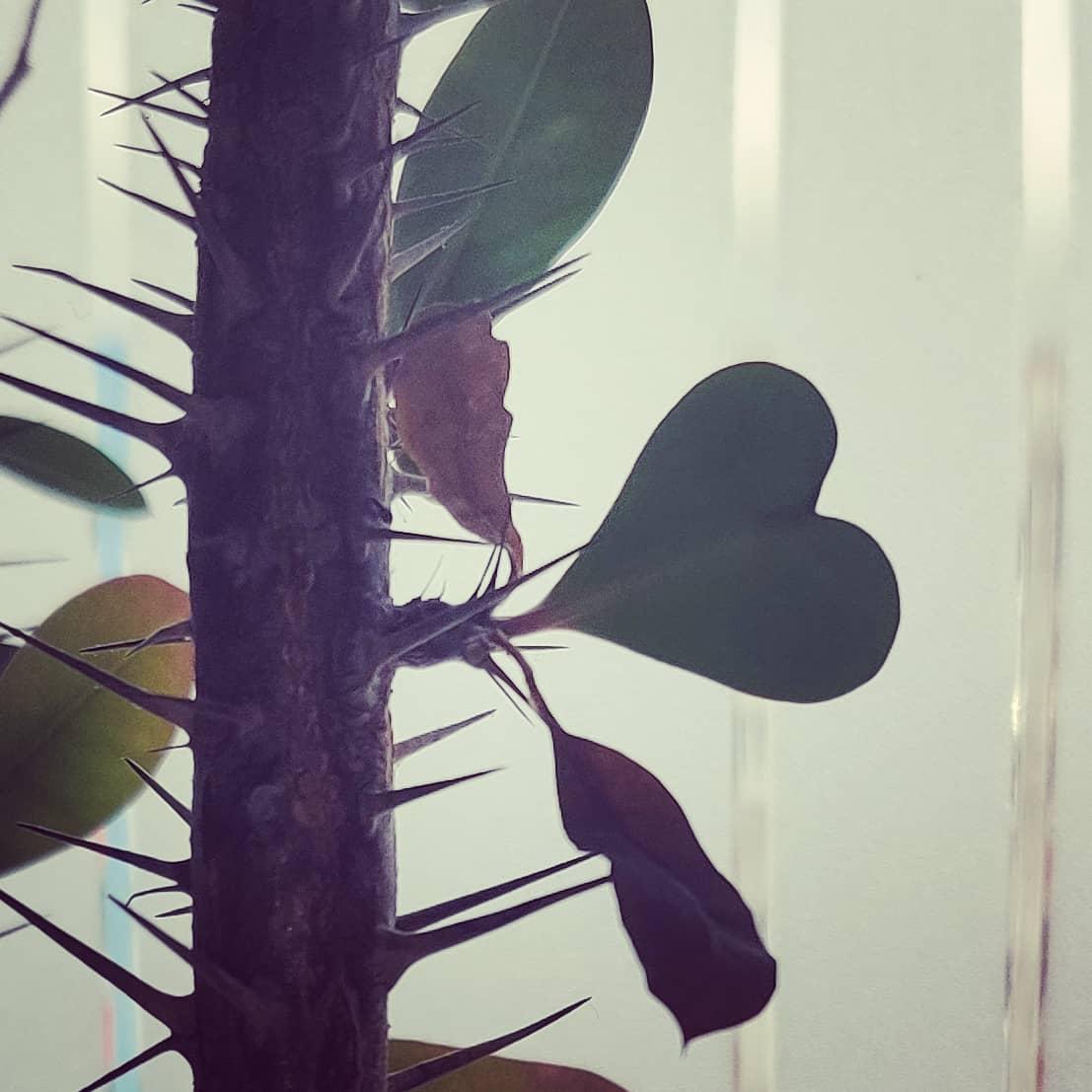 #instagram: Der Christusdorn hat Frühling #loveisintheair