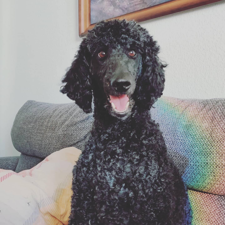 #instagram: Freshly styled #poodle