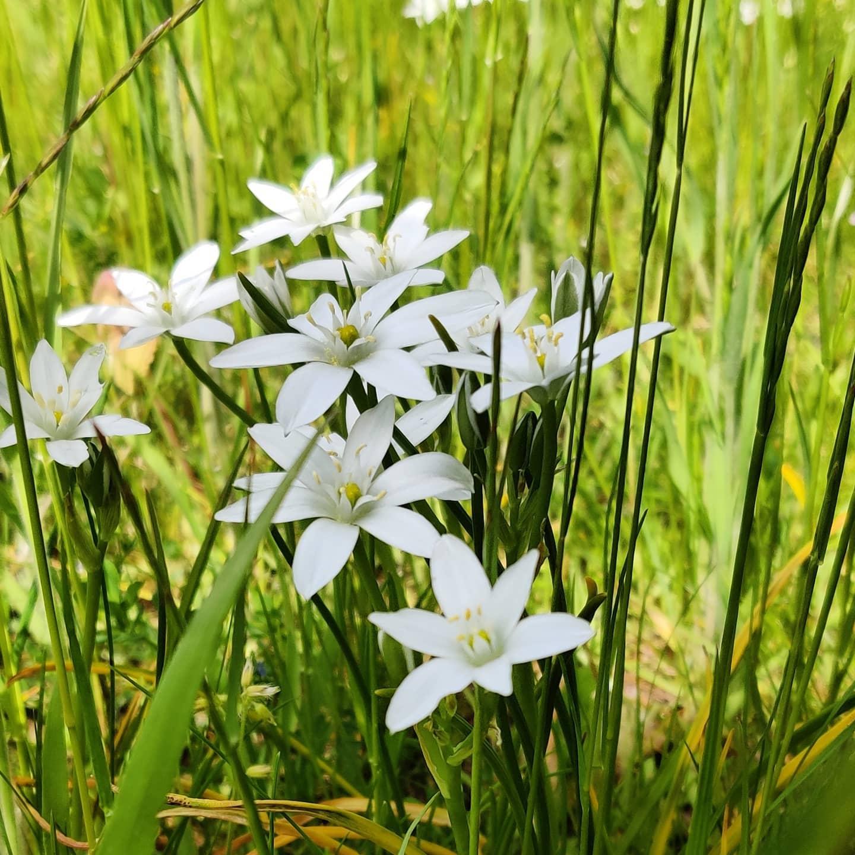 #instagram: Dolden-Milchstern #garden #nature #flora #flowers