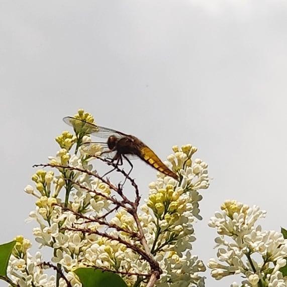 #instagram: Libellula depressa, ein junges Weibchen #dragonfly