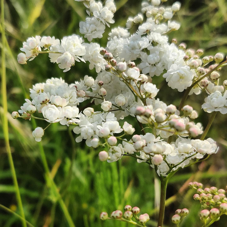 #instagram: Filipendula vulgaris 'Plena - Mädesüß. Einfach wunderschön