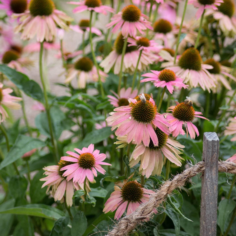 #instagram: #echinacia gehört u.a. zu meinen Lieblingsblumen. Das Bild entstand letztes Jahr im botanischen Garten Bochum